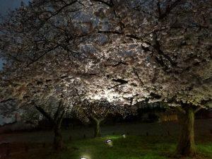 万博公園の夜桜